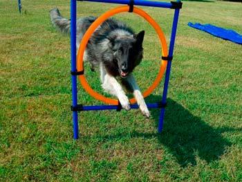 agility-amatoriale-cani-treviso